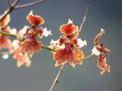 edwar guarin orquidea