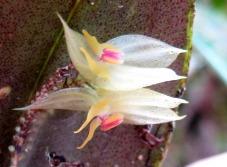 lepanthes dunstervilleorum edwar guarin