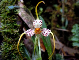 masdevellia picturata orquideas edwar guarin